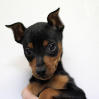 Cute MinPin Puppy